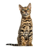 Young Bengal cat sitting (5 months old), isolated Stock Images