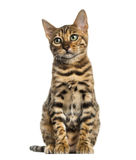 Young Bengal cat sitting (5 months old), isolated Royalty Free Stock Photo