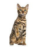 Young Bengal cat sitting (5 months old), isolated Royalty Free Stock Photos