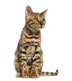 Young Bengal cat sitting (5 months old), isolated Stock Photo