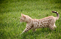 Young bengal kitten Royalty Free Stock Photos