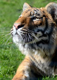 Young Bengal Tiger Royalty Free Stock Photo