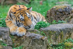 Young bengal tiger. Lying on the grass and shows his paws stock images