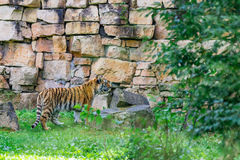 Young bengal tiger. Walking on the grass Royalty Free Stock Images