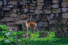 Young bengal tiger. Walking on the grass stock image