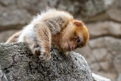 A young berber monkey is lying on a stone stock photos