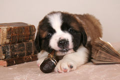 Young Bernard dog puppy smoking pipe. Young Saint Bernard dog smoking old pipe in library with aged books Royalty Free Stock Photo