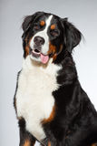 Young berner sennen dog. Royalty Free Stock Image