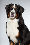 Young berner sennen dog. Stock Image