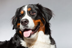 Young berner sennen dog. Royalty Free Stock Images
