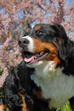 Young bernese mountain dog Royalty Free Stock Photo