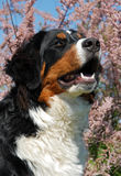 Young bernese mountain dog Royalty Free Stock Photography