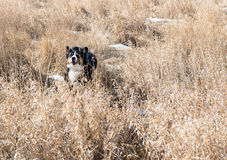 A young Bernese Mountain dog jumps. A Bernese Mountain dog frolics through the field royalty free stock image