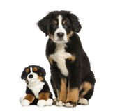Young Bernese Mountain dog, 3,5 months old, sitting Stock Image