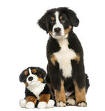 Young Bernese Mountain dog, 3,5 months old, sitting Stock Images