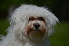 Young Bichon Frise stock images