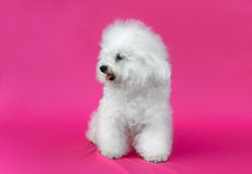 Young Bichon Frise dog. In a pink background Royalty Free Stock Photo