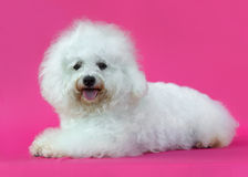 Young Bichon Frise dog. In a pink background Stock Images
