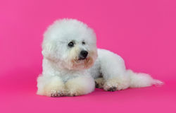 Young Bichon Frise dog. In a pink background Stock Photos