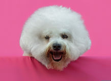 Young Bichon Frise dog. In a pink background Stock Photography