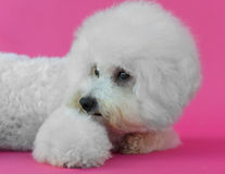Young Bichon Frise dog. In a pink background Royalty Free Stock Image