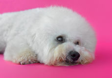 Young Bichon Frise dog. In a pink background Royalty Free Stock Photography