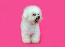 Young Bichon Frise dog Royalty Free Stock Images