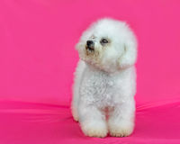 Young Bichon Frise dog. In a pink background Royalty Free Stock Images