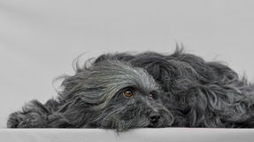 Young Bichon Havanese dog. In a gray background Royalty Free Stock Image