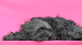 Young Bichon Havanese dog. In a pink background Stock Images