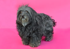 Young Bichon Havanese dog. In a pink background Royalty Free Stock Photography
