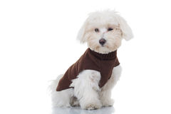 Young bichon puppy sitting and wearing dog clothes. Young bichon puppy sitting on white background, wearing brown clothes Stock Image