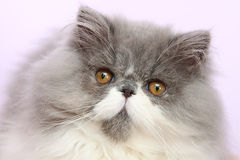 Young bicolor persian cat. In front of a white background Stock Image