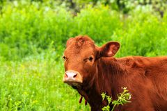 Young big brown dairy cow, livestock, heifer grazes on a farm among green grass in pasture, milk. Young big brown dairy cow, livestock, heifer grazes on a farm royalty free stock image