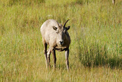 Young Big Horn Ram Stock Images