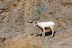 Young big horn ram Stock Image