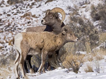 Young Big Horn ram with young ewe Stock Photos