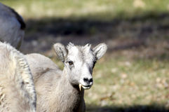 Young big horn sheep Royalty Free Stock Photography