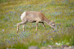 Free Young Big Horn Sheep Stock Photos - 72136503