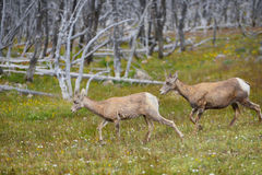 Free Young Big Horn Sheep Royalty Free Stock Photos - 72545168