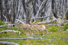 Free Young Big Horn Sheep Royalty Free Stock Photos - 72545738