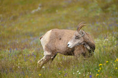 Young big horn sheep Royalty Free Stock Image