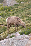 Young Big Horn Sheep grazing on a hillside. Young Big Horn Ram grazing on a hillside in the Rocky Montains royalty free stock photo
