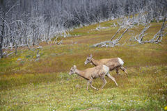 Young Big horn sheep  in Mount Washburn hiking trail, Yellowston Stock Images