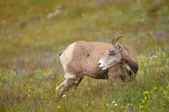 Young Big horn sheep  in Mount Washburn hiking trail, Yellowston Stock Photo