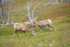 Young Big horn sheep  in Mount Washburn hiking trail, Yellowston Royalty Free Stock Photography