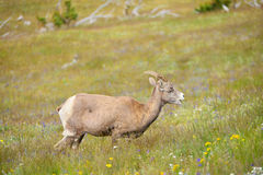 Young Big horn sheep  in Mount Washburn hiking trail, Yellowston Stock Image