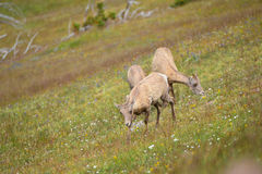 Young Big horn sheep  in Mount Washburn hiking trail, Yellowston Royalty Free Stock Photos