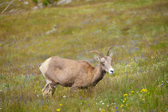 Young Big horn sheep  in Mount Washburn hiking trail, Yellowston Royalty Free Stock Images
