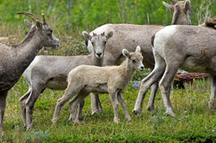 Young Big Horn Sheep Royalty Free Stock Photos